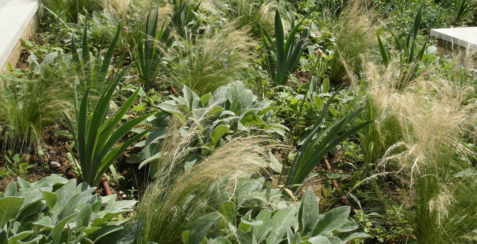 Jardinières sur dalle : Stipa tenuissima, Stachys byzantina, Iris barbata- nana