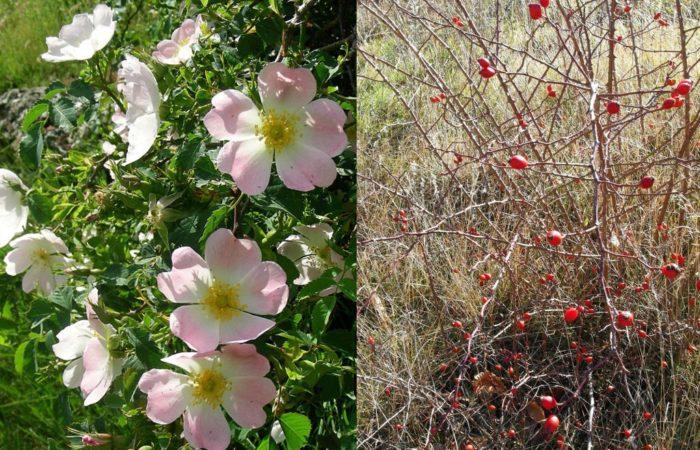Plantes indigènes à intérêt hivernal : Cornus sanguinea et Rosa canina